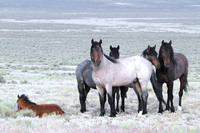 Fish Creek Wild Horses B130569