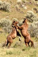 South Steens Wild Horses M1633