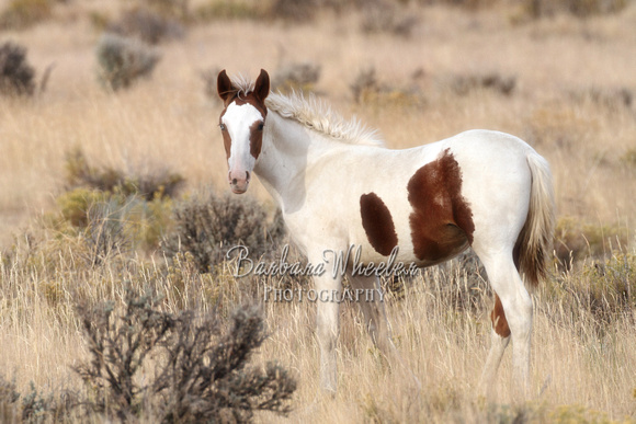 South Steens Wild Horses M111738