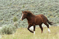 South Steens Wild Horses B106457