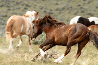 South Steens Wild Horses M107393