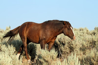 South Steens Wild Horses M103147
