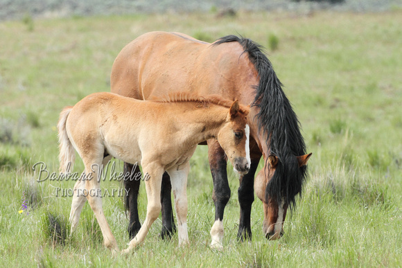 South Steens Wild Horses M103946