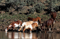 South Steens Wild Horses B137685