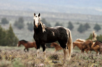 South Steens Wild Horses M137045