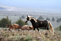 South Steens Wild Horses M137047