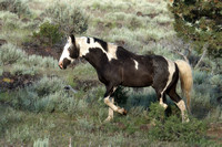 South Steens Wild Horses M156906