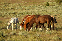 South Steens Wild Horses B1506670