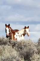 South Steens Wild Horses M07917
