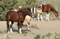 South Steens Wild Horses B138322