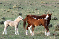 South Steens Wild Horses B138144