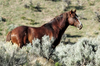 South Steens Wild Horses M138892
