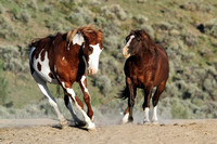 South Steens Wild Horses M139413