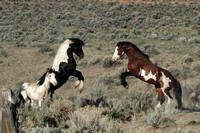 South Steens Wild Horses B138357