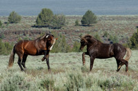 South Steens Wild Horses B157375
