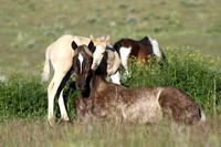 South Steens Wild Horses B119262