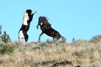 South Steens Wild Horses B120820