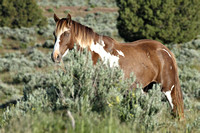 South Steens Wild Horses M117479