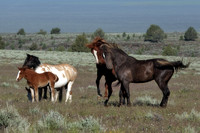 South Steens Wild Horses B1509136