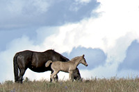 South Steens Wild Horses B4007