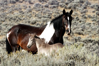 South Steens Wild Horses M107986