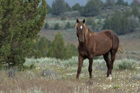South Steens Wild Horses B156675