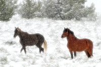 South Steens Wild Horses M101072