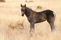 South Steens Wild Horses M111446
