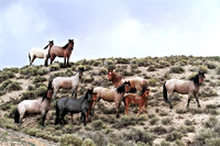 Fish Creek Wild Horses M131556
