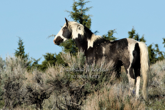 South Steens Wild Horses B170840