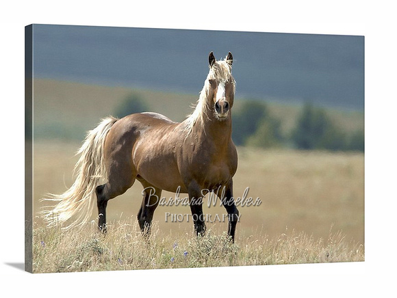South Steens Wild Horses M3759s canvas