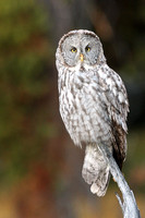 Great Grey Owl M0012
