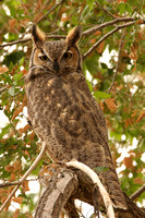 Great Horned Owl M7271