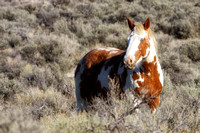 South Steens Wild Horses B0194